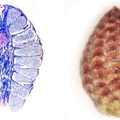 Longitudinal section and whole microsporangiate cone of red pine