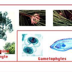 Pine life cycle