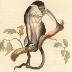 The Varied Monkey