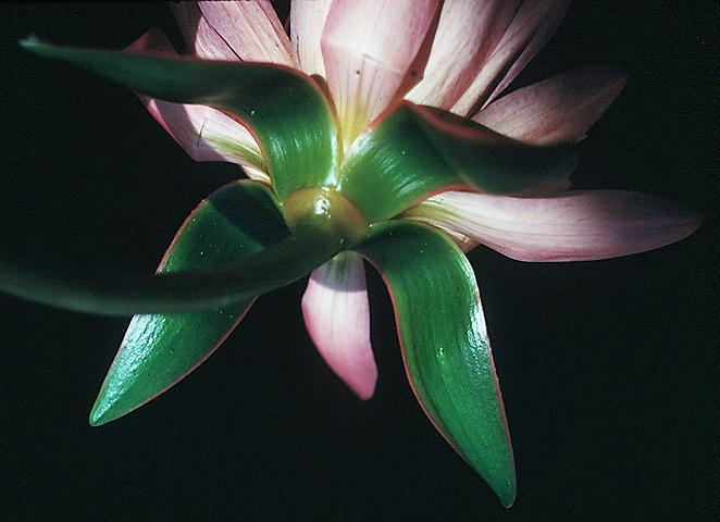 Sepals of Nymphaea