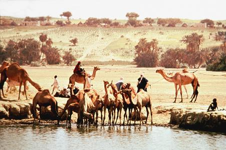 Camels at Water Hole