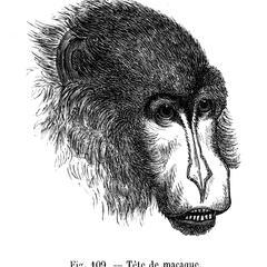 Tête de macaque