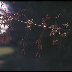 Red maple fruits in University of Wisconsin–Madison Arboretum