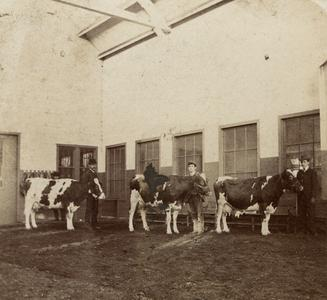 Interior of Stock Pavilion, students with cows