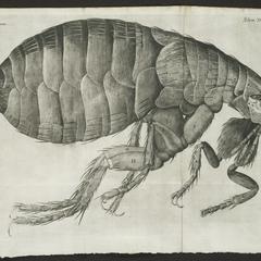 Schem. XXXIV [flea]