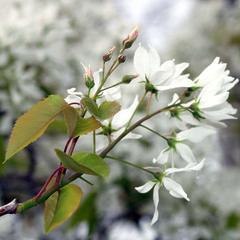 Flowering branch of Amelanchier