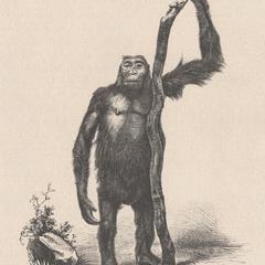 Erwachsener weiblicher Gorilla