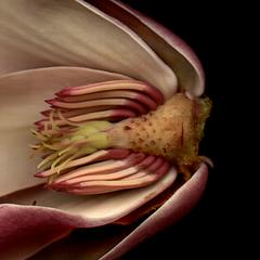 Dissected flower with view of receptacle, sepals, petals, stamens and pistils of Magnolia X Soulangiana