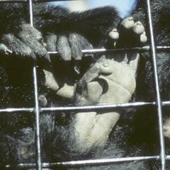 Colobus guereza