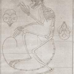 Abbildung 18 : Abbildung des Skelets des braunhändigen Tarsers