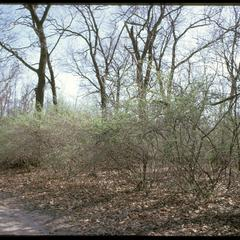 Early growth of honeysuckle in Grady Tract Woods, University of Wisconsin Arboretum