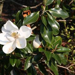 Magnolia grandiflora  with fallen stamens