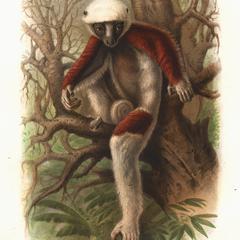 Propithecus coquerelii