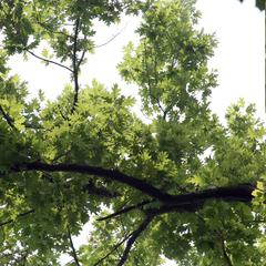 Canopy view and insert of fruiting branch of Quercus borealis