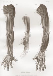 Muscles des Extrémités Antérieures du Gorille