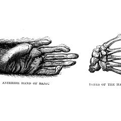 Anterior Hand of Sajou ad Bones of the Hand of Sajou