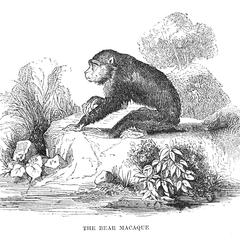 The Bear Macaque