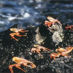 Sally Lightfoot Crabs (Grapsus grapsus)