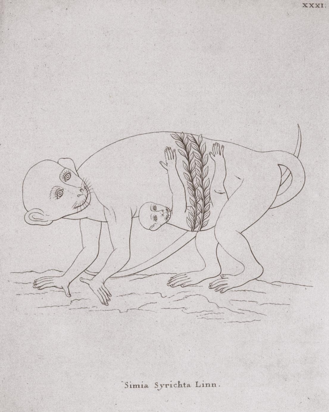 Abbildung 3 : Simia Syrichta Linn. (1775)