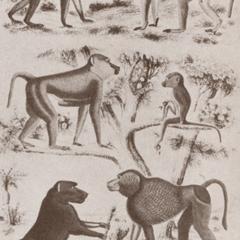 Baboon Group Print
