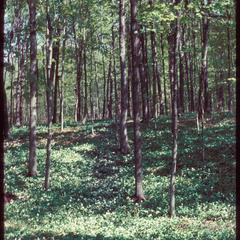 Maple forest in spring, Young's Woods