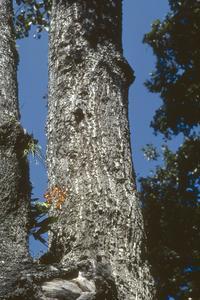 Odontoglossum grande orchid on tree trunk, Rincón de Manantlán