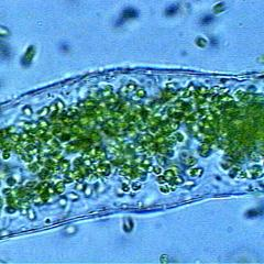 Hydrodictyon - zoospores contained in mother cell wall