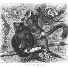 The Black Lemur (1/6 nat. size)