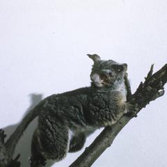 Galago maholi