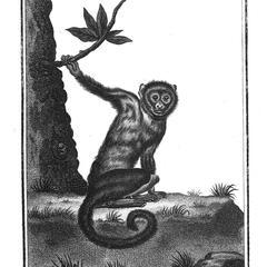 Le Sajou gris (Gray capuchin)