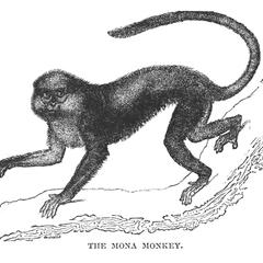 The Mona Monkey