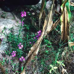 Striga, a Parasitic Weed on Sorghum