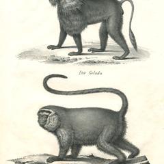 Capuchin & Gelada Print