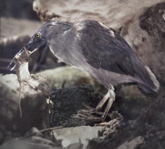 Lava Heron (Ardeola sundevalli) and House Mouse (Mus musculus)