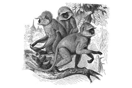 Hanuman Langur Group Print