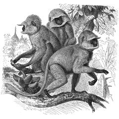 Hanuman Langur Group Print