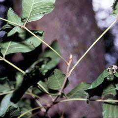 Leafy twig of Toxicodendron radicans