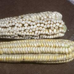 Corn (Pepetillo?) west of Teoloapan