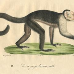 White-Headed Capuchin Print