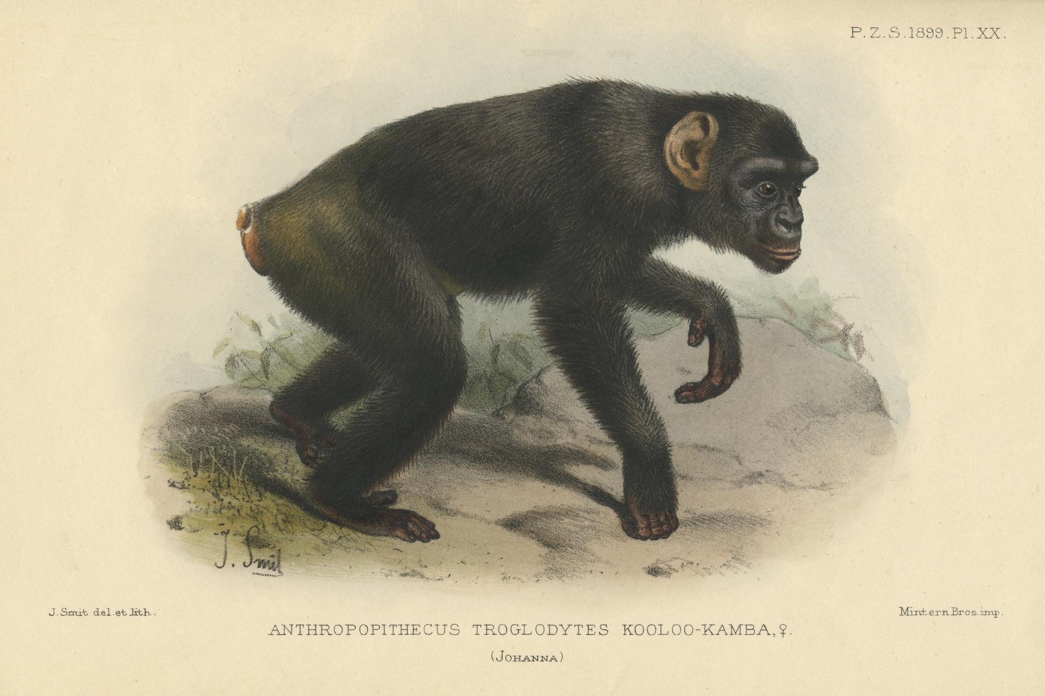 Anthropopithecus Troglodytes Kooloo-Kamba