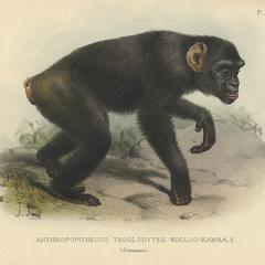 Anthropopithecus Troglodytes Kooloo-Kamba