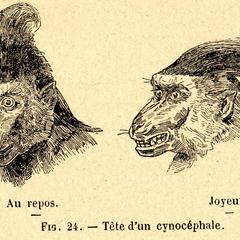 Těte d'un Cynocéphale