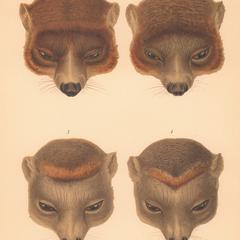 1 et 2--Lemur albimanus. 3 et 4--Lemur coronatus ♀ (Chrysampyx)