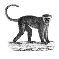 Guenon malbrouck