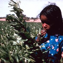 Young Girl in Field of Long Staple Cotton in Blue Nile Province