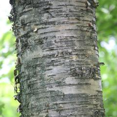 Paper birch - detail of bark