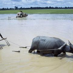 Harrowing rice paddies