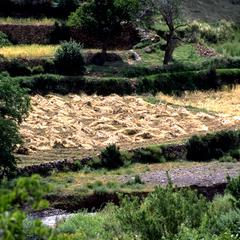 Cut Wheat in the High Atlas