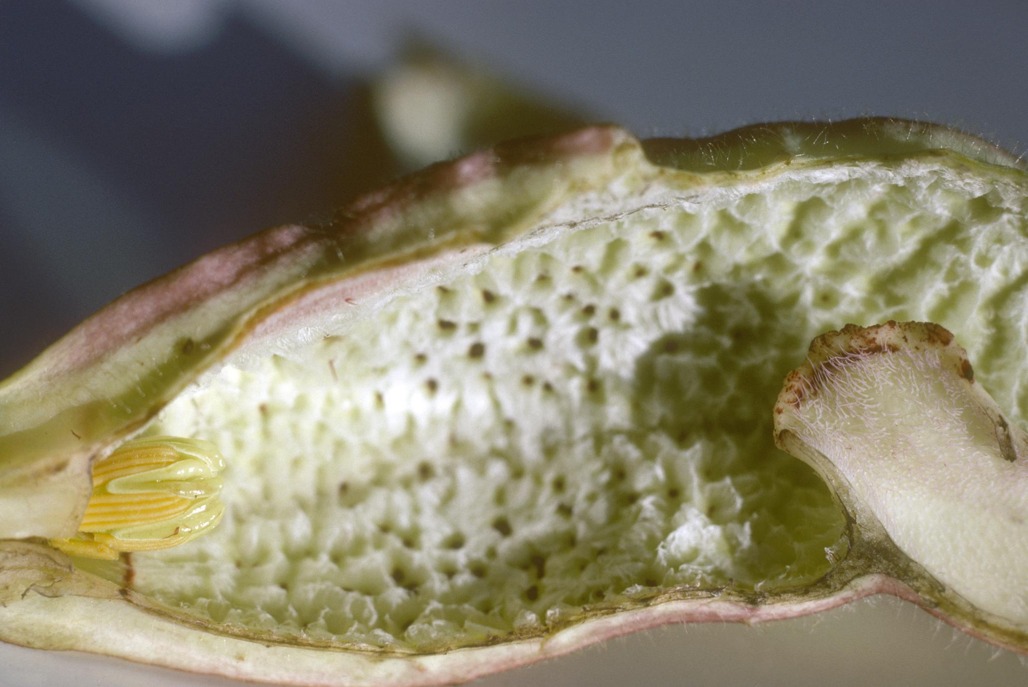 Base of inside of flower of an Aristolochia species, east of Cuilapa