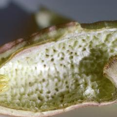 Base of inside of flower of an Aristolochia species, east of Cuilapa